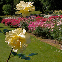 Jasper Crane Rose Garden